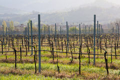 Vineyard in tuscan country. With aligned vines on wires, with Tuscany hills on the background Royalty Free Stock Photos