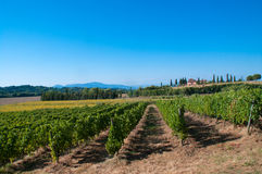 Vineyard in the Tuscan countryside Stock Photography