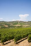 Vineyard in Tuscany Stock Image