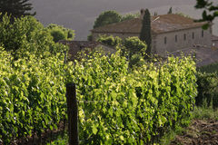 Vineyard - Tuscany Royalty Free Stock Images