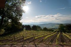 Vineyard in Tuscany. Vineyard at sunrise in Grosseto, Tuscany Stock Image