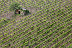 Vineyard in Tuscany Royalty Free Stock Image
