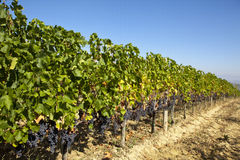 Vineyard in Tuscany. Nearby Montalcino, with ripe Sangiovese grapes vine Stock Photo