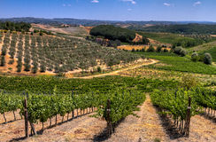 Vineyard in Tuscany. Italy at a sunny summer afternoon Royalty Free Stock Images