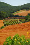 Vineyard in Tuscany Stock Images