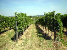 Vineyard in Tuscany. Cultivation of the vine in the land of Tuscany Stock Photos