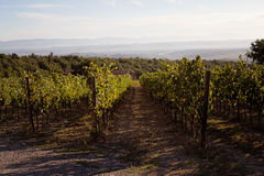 Vineyard in Tuscany. Beautiful autumn landscape of a vineyard in Tuscany, Italy in the morning light Stock Image