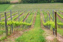 Vineyard of Tuscany. Tuscany vineyard - countryside of Italy. Agricultural area in the province of Siena stock photography