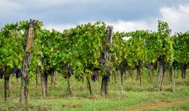 Vineyard. At the tuscany fields royalty free stock image