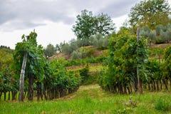 Vineyard. At the tuscany fields stock photo