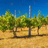Vineyard in Tuscany During a Hot Summer Day Stock Photos