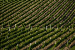 Vineyard in tuscany Royalty Free Stock Photography