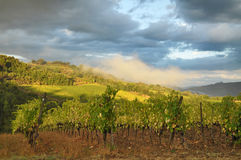Vineyard in Tuscany, Italy Royalty Free Stock Image