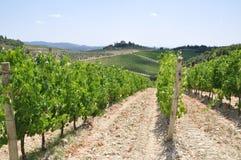 Vineyard in Tuscany, Italy Royalty Free Stock Image