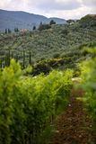Vineyard in Tuscany, Italy. This is a beautiful view of a vineyard in Tuscany, Chianti, Italy. The foreground is filled with a plantation of grape-bearing vines stock image