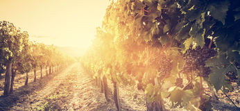 Vineyard in Tuscany, Italy. Wine farm at sunset. Vintage Royalty Free Stock Images