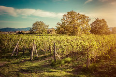 Vineyard in Tuscany, Italy. Wine farm at sunset. Vintage Stock Photography
