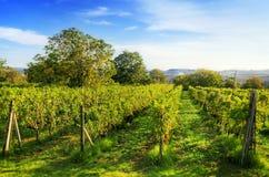 Vineyard in Tuscany, Ripe grapes stock image