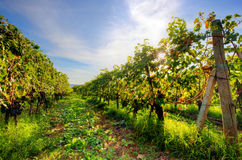 Vineyard in Tuscany, Ripe grapes Stock Images
