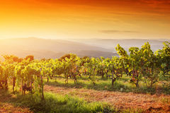 Vineyard in Tuscany, Ripe grapes at sunset Royalty Free Stock Photo