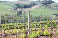 Tuscany grape plants Stock Images