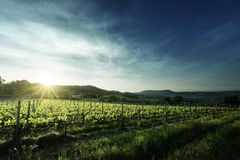 Vineyard in Tuscany Royalty Free Stock Images