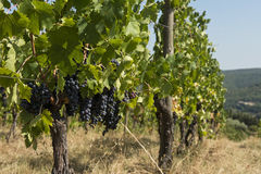 Vineyard - Tuscany Royalty Free Stock Photography