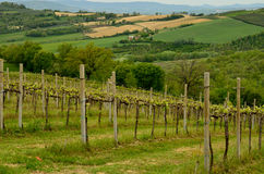 Vineyard in Umbria Stock Photography