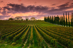 Vineyard in Umbria, Italy stock photo