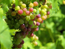 A vineyard in Umbria, Italy. A shot of a bunch of grapes in a vineyard in the Umbrian countryside, Italy Royalty Free Stock Image