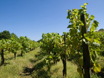 Vineyard under blue sky royalty free stock image