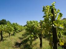 Vineyard under blue sky Royalty Free Stock Image