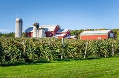 Vineyard under Blue Sky on aFall Morning Royalty Free Stock Image
