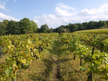 Vineyard under blue sky with clouds Royalty Free Stock Photos
