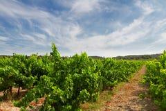 Vineyard under blue sky Stock Photos