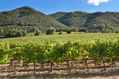Vineyard under the hills Royalty Free Stock Image