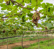 Vineyard with unripe grapes Royalty Free Stock Image