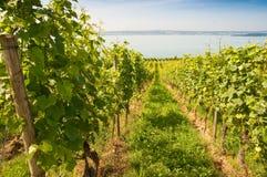 Vineyard. Uphil vineyard at lake Bodensee in summer Royalty Free Stock Photography