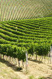 Vineyard in Val d'Orcia Royalty Free Stock Images