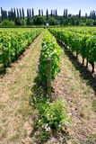 Vineyard in Val de Loire Royalty Free Stock Photos