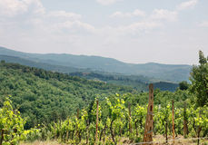 Vineyard in valley. A vineyard in a valley with green forest background Royalty Free Stock Photography