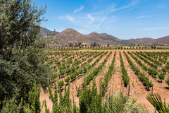 Vineyard in a Valley in Ensenada, Mexico. A vineyard in a valley in Ensenada, Mexico in Baja California Royalty Free Stock Photography