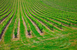 Vineyard in the  Valley San Quirico d Orcia in Tuscany, Italy Stock Photo