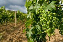 Vineyard Velke Zernoseky I. Royalty Free Stock Photography