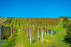 Vineyard vertical panoramic view on Waiheke Island, Auckland, New Zealand in a beautiful blue sky Royalty Free Stock Photos