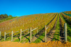 Vineyard vertical panoramic view on Waiheke Island, Auckland, New Zealand in a beautiful blue sky Royalty Free Stock Image