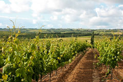 Vineyard view Stock Photography