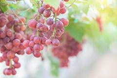 Grape in vineyard Stock Image