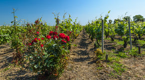 Vineyard Royalty Free Stock Photo