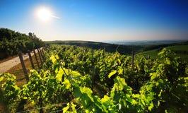 Vineyard in panorama view Stock Photography